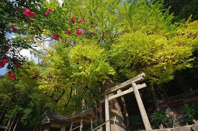 春日神社のラッパイチョウ