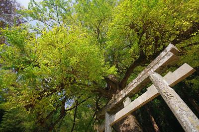春日神社のラッパいちょう (2011.11.14)