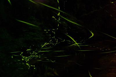御杖のホタル 2011