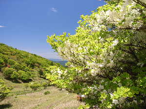 三峰山のシロヤシオ
